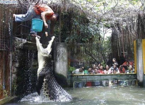 Cho cá sấu ăn